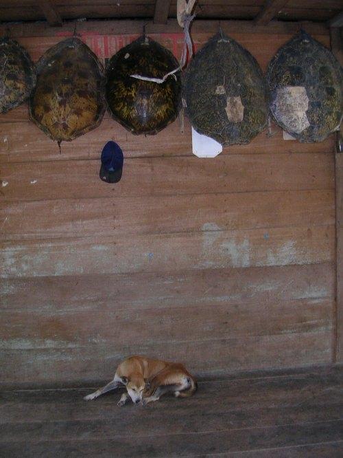Karapas penyu menjadi hiasan rumah di desa Tua Peijat, Sipora, Mentawai. (dok.sulung prasetyo)