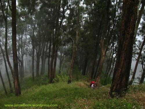 Melintas hutan cemara setelah candi Sepilar, menuju puncak gunung Arjuno. (dok. sulung prasetyo)