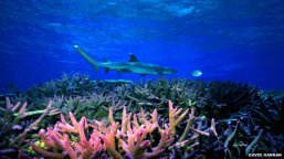shark_gratbarrier reef