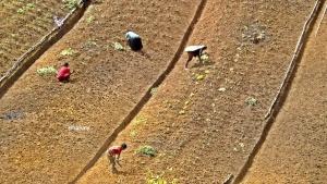 Pekerjaan utama orang suku Moni, Papua sebagian besar berladang ubi dan sayuran.